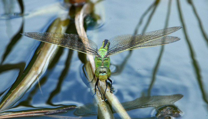 Emperor Dragonfly female