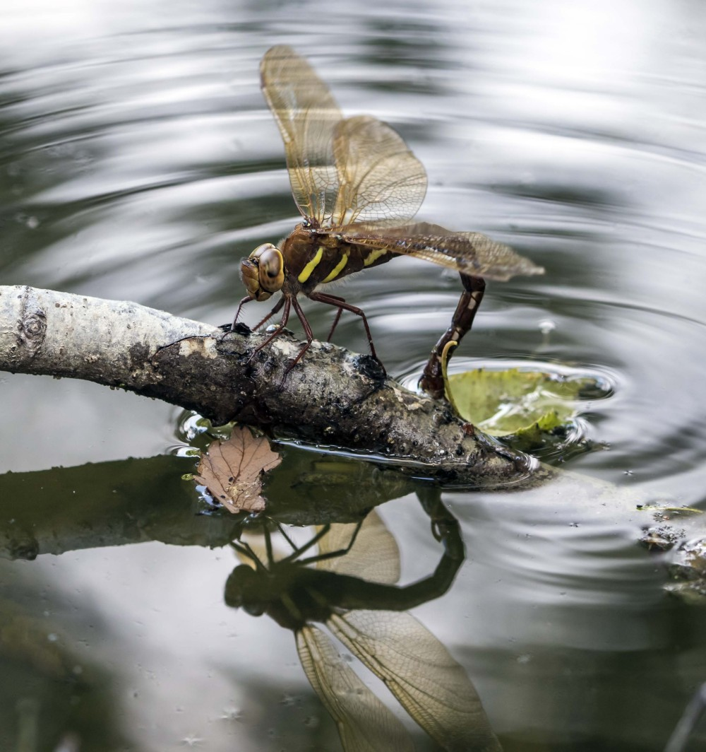 Brown Hawker ovipositing