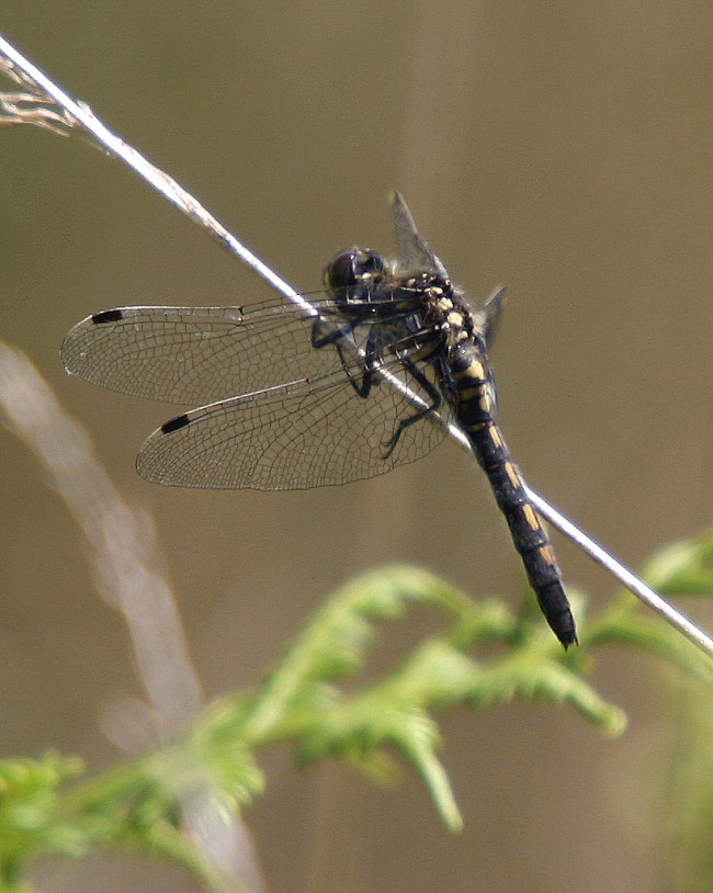 White-faced Darter female
