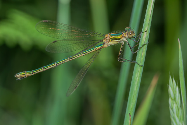 Emerald Damselfly female