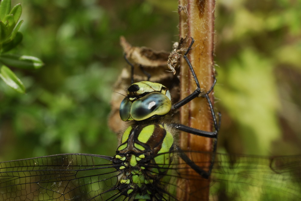Adult Anatomy and Terminology | Shropshire Dragonflies