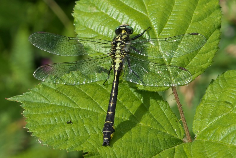 Common Cubtail male