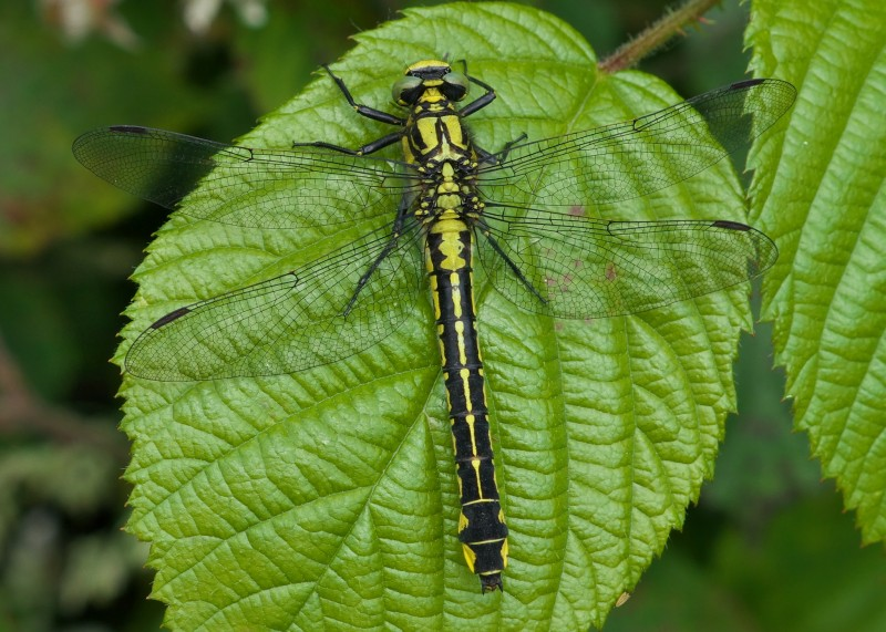 Common Clubtail female