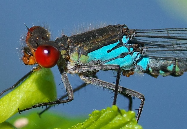Red-eyed Damselfly with mites