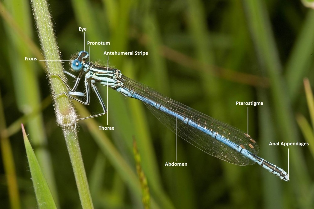 Damselfly anatomy