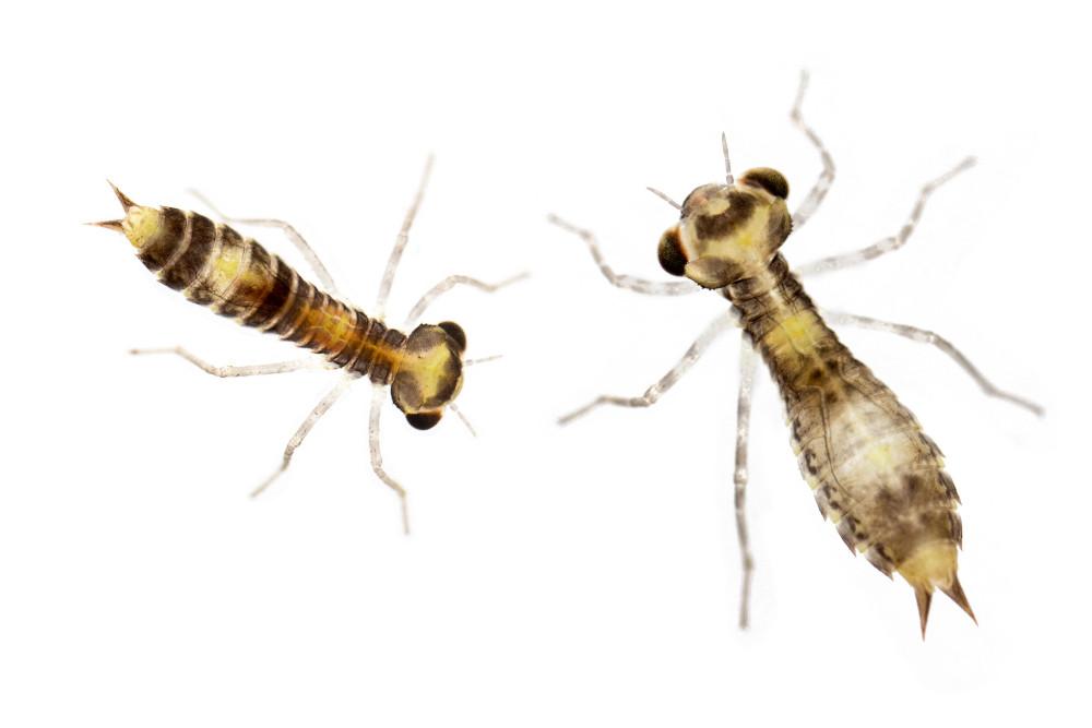 Hawker larvae