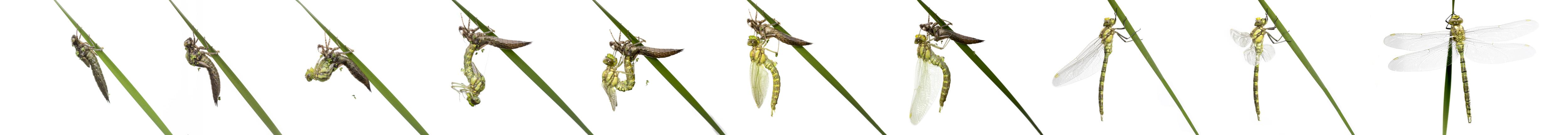 Dragonfly emergence