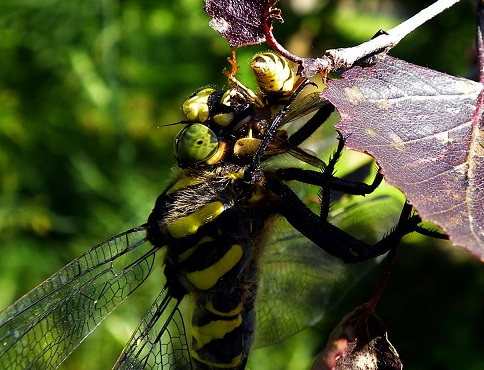 Golden-ringed Dragonfly eating wasp