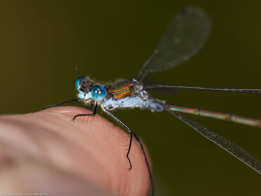 Male Emerald Damselfly close up