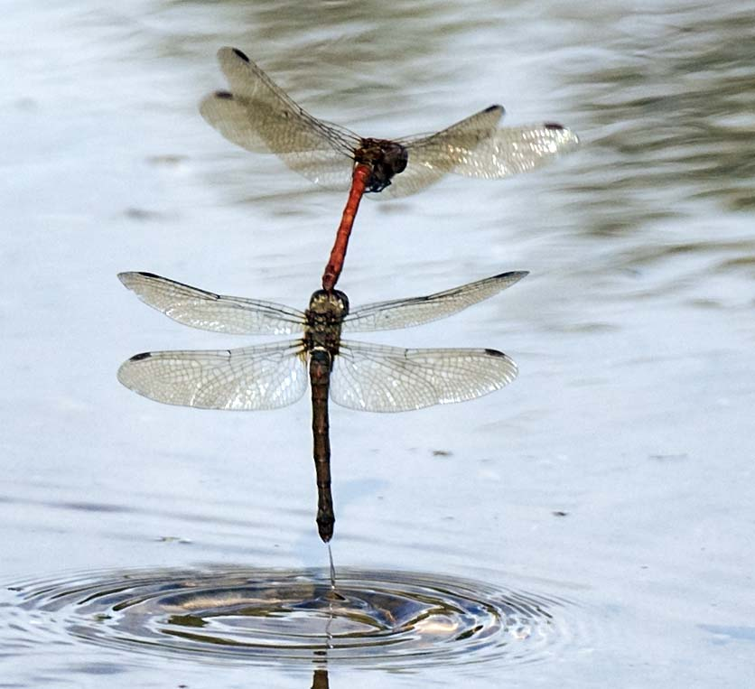 Common Darter in tandem