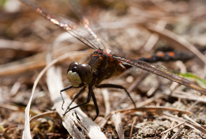 White-faced Darter male