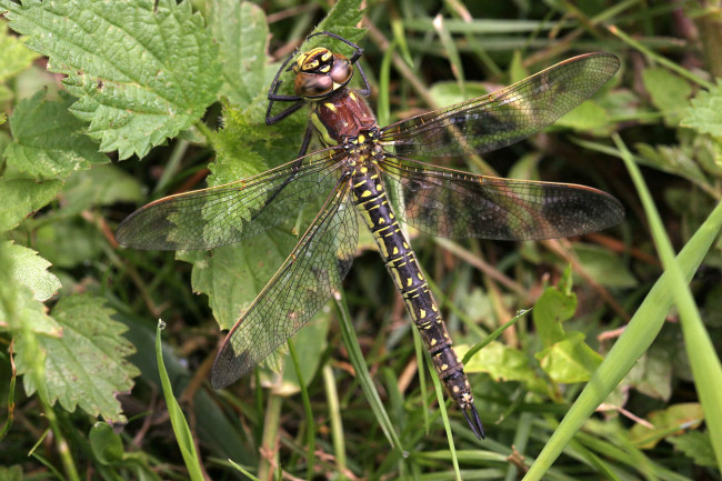 Hairy Dragonfly female