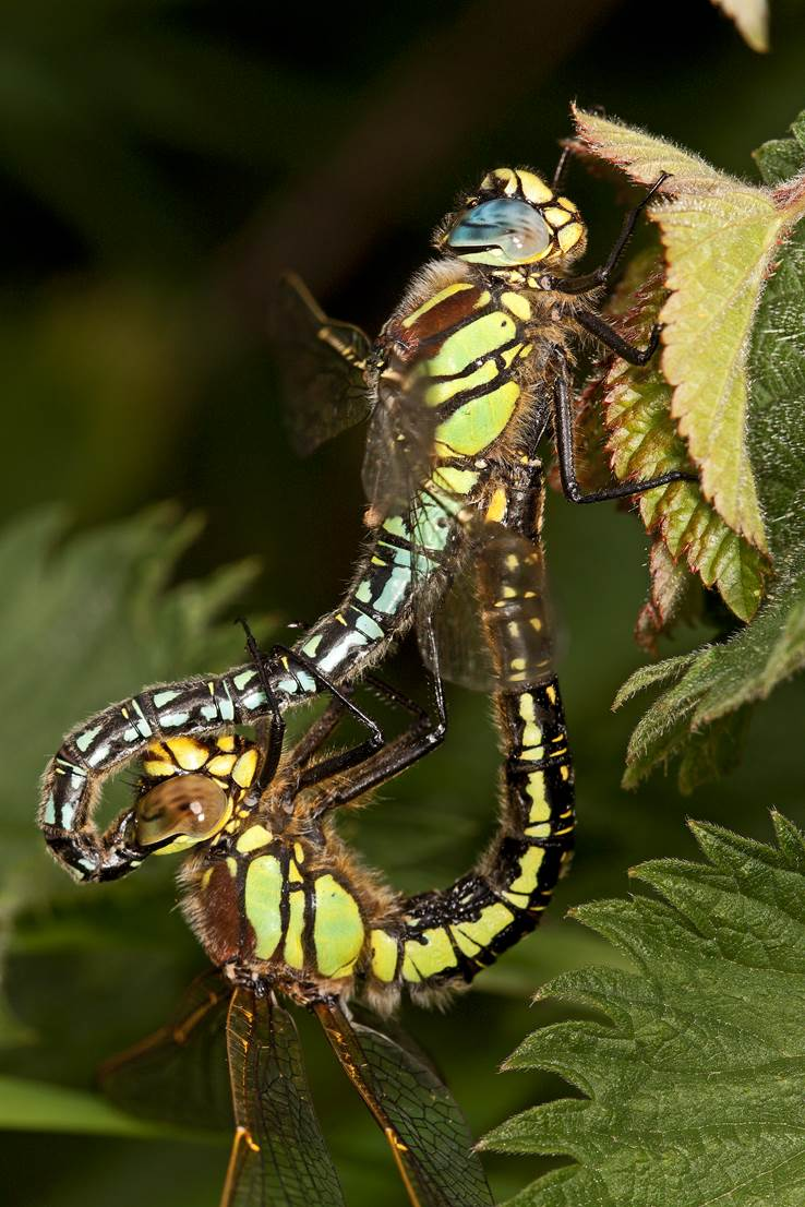 Hairy Dragonfly pair