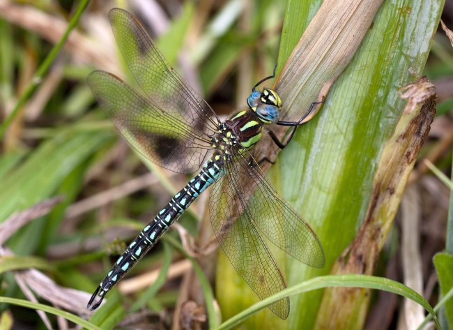 Hairy Dragonfly male