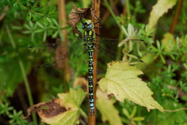 Southern Hawker male