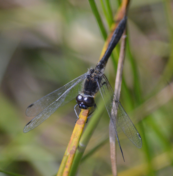 Black Darter male