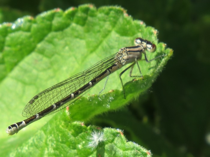 Common Blue Damselfly female