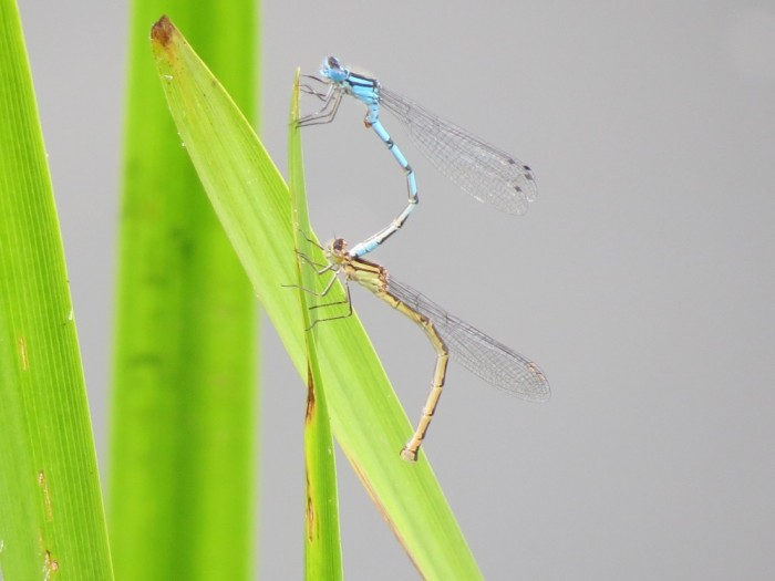 Common Blue Damselfly pair