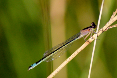 Blue-tailed Damselfly female f.rufescens