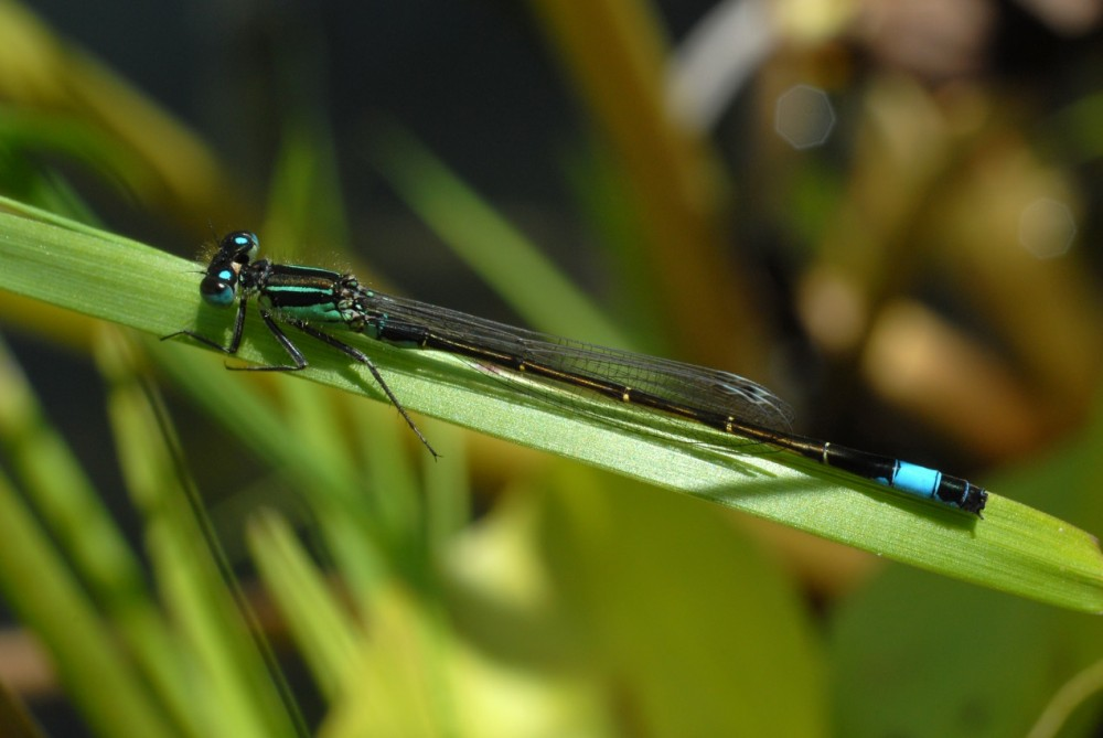 Blue-tailed Damselfly male