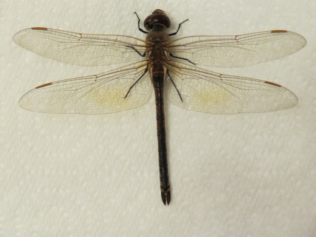 Vagrant Emperor female