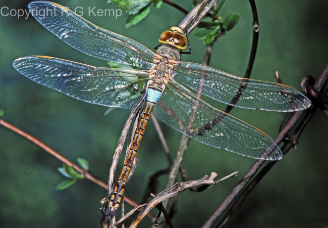 Vagrant Emperor male