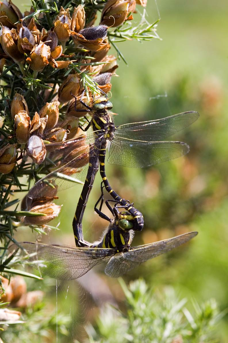 Golden-ringed Dragonfly pair