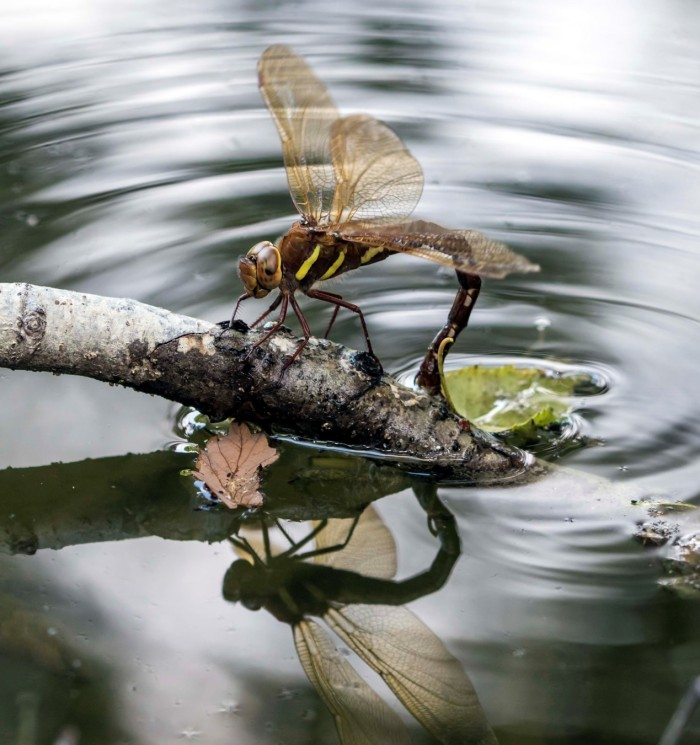 Female brown hawker