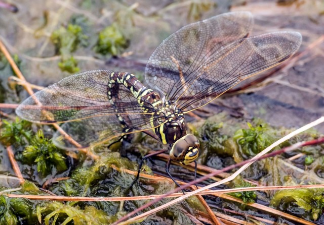 Common Hawker female