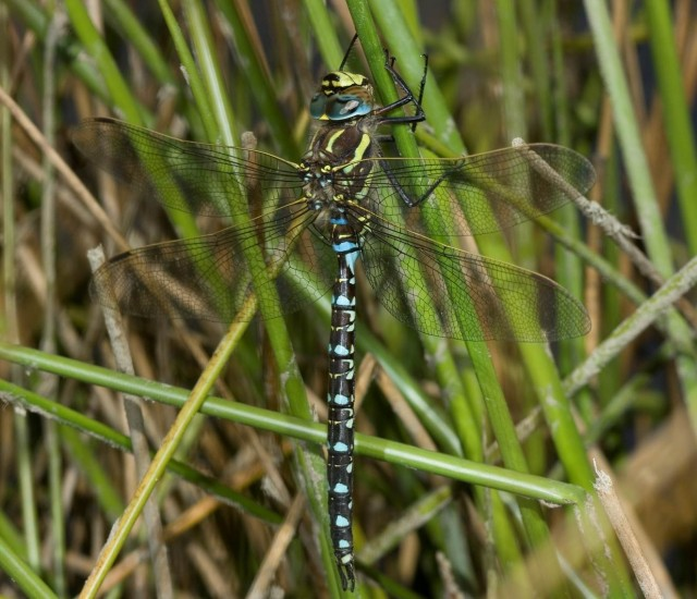 Common Hawker male