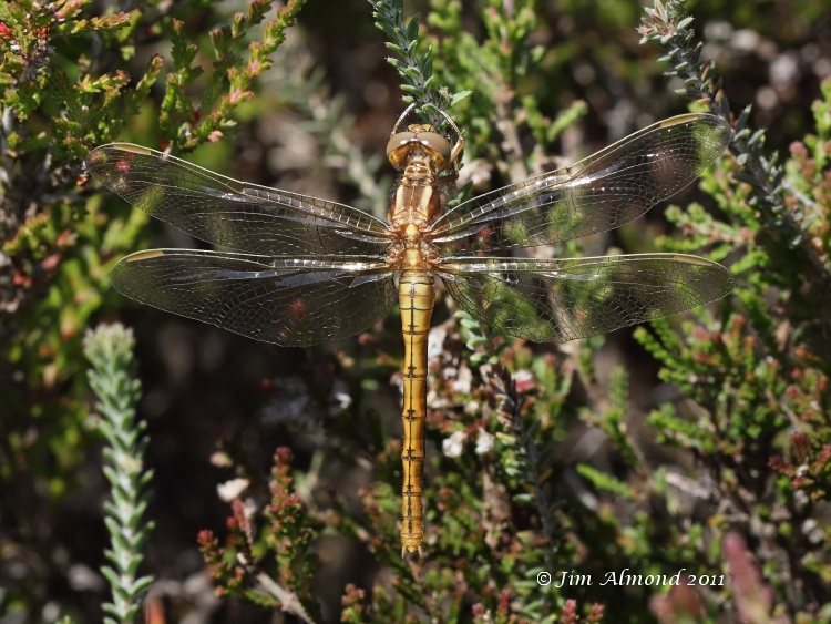 Keeled Skimmer female