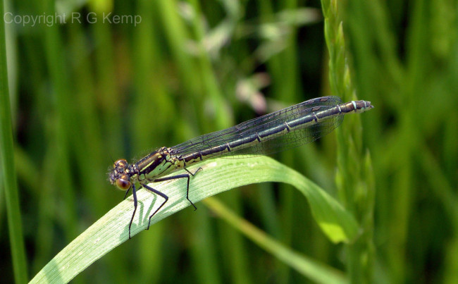 Red-eyed Damselfly female