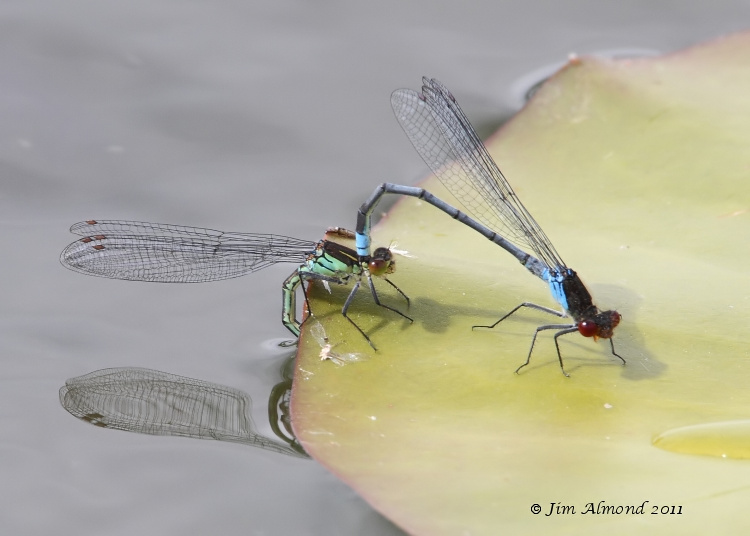 Red-eyed Damselfly pair