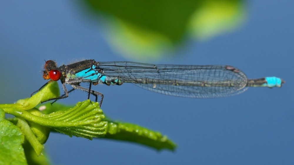 Red-eyed Damselfly male