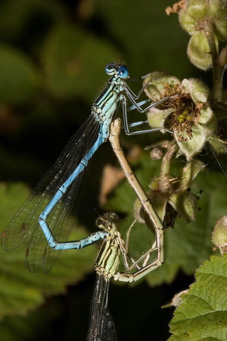 White-legged Damselfly pair