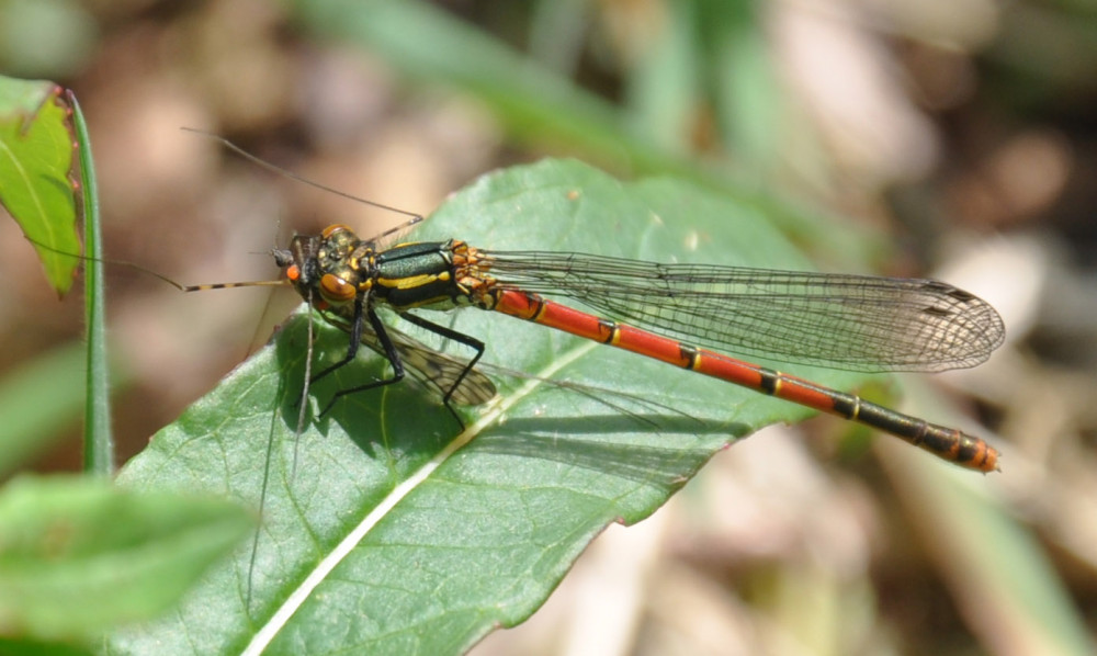 Large Red Damselfly female