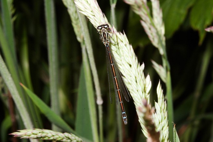 Variable Damselfly female