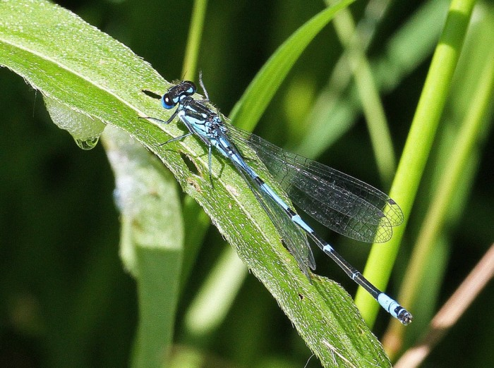 Variable Damselfly male