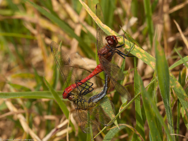 Ruddy Darter pair