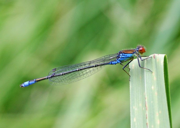 Small Red-eyed Damselfly Male